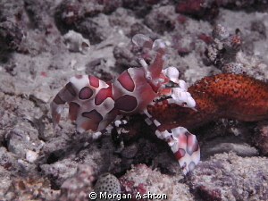 Harlequin Shrimp. Night Dive, Dampier Strait, Raja Ampat.... by Morgan Ashton 